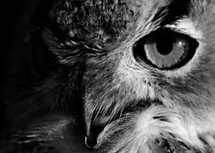 Gufo reale (giansacca) Tags: guforeale mygearandme mygearandmepremium mygearandmebronze mygearandmesilver mygearandmegold flickraward uccelli birds oiseaux animali animals animaux bubobubo gufo vogel aves