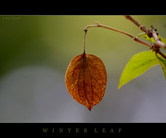 Winter leaf (Rhivu_Ray) Tags: new november autumn winter india green art nature beauty canon photography eos leaf asia alone bokeh 7d getty copyrights bengal bangla colorgreen 2011 kharagpur bestofnature naturewallpaper bestofindia eos7d canoneos7d 55250mm canonefs55250mmf456is efs55250mmf456is canon7d canonefs55250f456is bestofcanon paschimbanga rhivu rhivuray rhitamvarray rhivuphotography