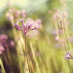 playfull... (imi20) Tags: flowers nature canon square 50mm f18 pps societygarlic florabella perfectpurplesaturday actionsandmerlottexture