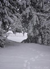 Snowy Tree Heart-Shaped Tunnel  (Explored) (misst.shs) Tags: trees snow fence nikon footprints tunnel idaho nautre sandpoint hcs northidaho colburn d90 clichesaturday