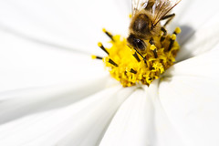 Sweet spot (Tupilak79) Tags: autumn summer white flower macro nature yellow closeup canon insect geotagged europe soft dof wasp bokeh sommer herbst insects bee 7d blume makro luxemburg biene cosmea 10028 echternach wildbiene