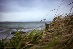 It was a very windy day (il chirurgo matto ) Tags: blue autumn ireland sea irish lake cold green galway reed grass bay dof wind bokeh windy fresh shore hibernia connaught fineartphotos 5dmarkii 5dmk2 gettyimagesireland gettyimagesabstract gettyimagesirelandq3