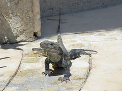 Iguana - Grand Riviera Princess Hotel, Riviera Maya, Mexico (pgosling1979) Tags: del mexico hotel riviera maya princess grand playa iguana carmen