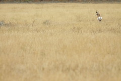 Antelope (webbmb) Tags: usa antelope wyoming grandtetonnationalpark antelopeflats 5photosaday