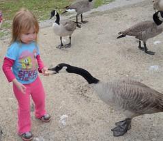 This needs a Caption LOL (Nikki the birdwatcher is reorganizing photo stream) Tags: bird kid funny olivia goose feed canadagoose nicoleperkins reddingcalifornia needscaption kutraslake