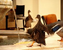The dance of the ducks (Bhamgal) Tags: fountain orlando florida feathers ducks medical tradeshow mallards peabodyducks thepeabodyhotel asrmannualmeeting