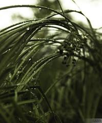 grassArch (glxtrix) Tags: flower wet grass rain canon droplets dof bokeh bent 28l weighted 2470 bokehstandard
