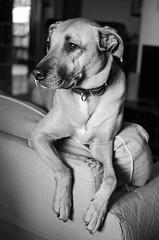Bad Habits (nicola.albertini) Tags: bw dog white black dogs couch explore rest