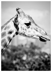 Contemplation (Visual Clarity Photography) Tags: bw zoo spring nikon october au sydney australia adobe nsw newsouthwales giraffe sep nikkor teleconverter tarongazoo hoya lightroom pc2088 neutral zooanimal mosman gp1 2011 uvfilter sep2 cs5 niksoftware d700 uv0 niksilverefexpro 70200mmf28gvrii photoshopcs5 nikkor70200mmf28gvrii tc20eiii superhmcpro1 silverefexpro2 lightroom35 7007087edit