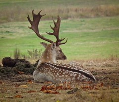 Randy (Bogger3.) Tags: park deer randy fallow attingham coth supershot specanimal dragondaggerphoto