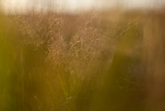 _MG_2343.jpg (Ferry Streng) Tags: sunlight up closeup afternoon close arnhem gelderland rozendaal rozendaalseveld moliniacaerulea otherkeywords pijpenstrootje overigetrefwoorden