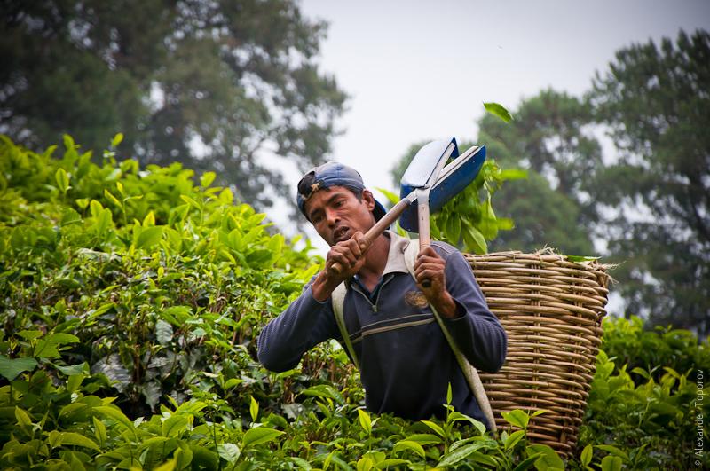 Tea Picker @ Boh Tea Estate