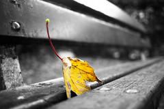 Herbstblatt - fallen leaves (m.budde) Tags: autumn white black colour fall nature beauty leaves pen lumix bokeh herbst olympus 20mm fallenleave epl1 mygearandme mygearandmepremium mygearandmebronze mygearandmesilver