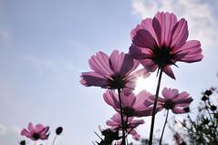 Showa kinen Park Cosmos_07 (ajari) Tags: park flowers autumn plant flower japan tokyo nikon 日本 東京 花 秋 sanpo 散歩 植物 tachikawa 立川 d300 showakinenpark 昭和記念公園