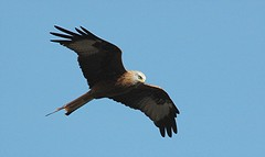 DSC_0030 Red Kite (PeaTJay) Tags: birds birdsofprey redkite carlsbirdclub