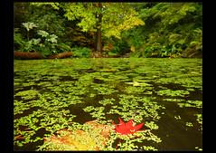 Stillness (AsherBlue) Tags: autumn tree fall nature pond peace japanesemaple stillness acerpalmatum colorsoffall washingtonparkarboretum