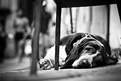 Barcelona 2011 (John Erik) Tags: barcelona street bw dog pet animal shop blackwhite spain nikon sleep sleepy catalunya nikkor d300 50mmf14af