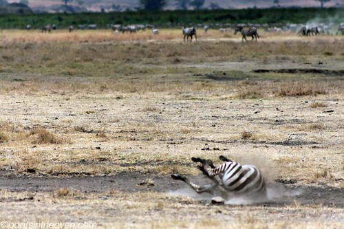 OK, this zebra is acting the fool.