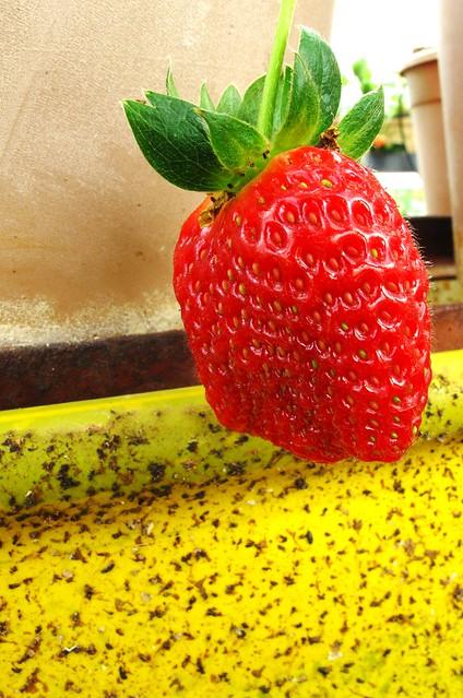 IMG_2191 strawberry,草莓