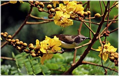 Bird In The Bush (aprna) Tags: india tree bird goa panaji yellowflame purplesunbird copperpod gettyimagesindiaq3