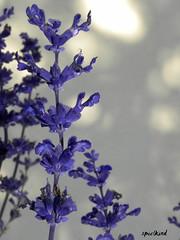 Freitagsblume - Fridayflower ( doro 51 ) Tags: pink flowers blue purple blossoms rosa blumen blau macros blten