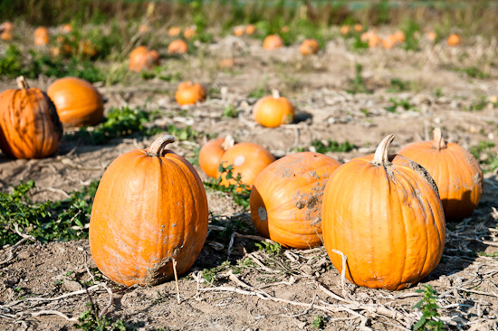 Pumpkins on a field