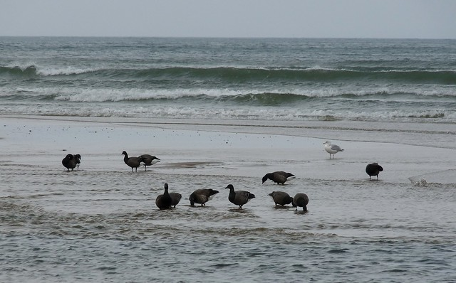 25232 - Brent Geese, Broughton Bay