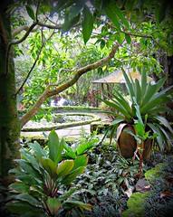 ~~LYON ARBORETUM #3~~ (TravelsThruTheUniverse) Tags: tropical tropicalplants exoticgardens zengardens oahuhawaii tropicalgardens tropicalfoliage flowersfoliage subtropicalgardens tropicallandscapes subtropicallandscapes tropicalgardenslandscaping tropicalflowersfoliage