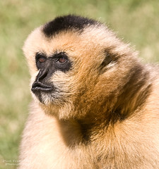 White-Cheeked Gibbon Portrait at the Memphis Zoo, Tennessee (D200-Paul) Tags: zoo memphis tennessee memphiszoo gibbon whitecheekedgibbon gibbonwhitecheeked