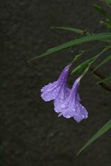 happy (h.nijssen5 IN SURINAME NOW) Tags: flowers light two sunlight flores luz fleur rain licht lluvia purple blumen together wildflowers bloemen kembang