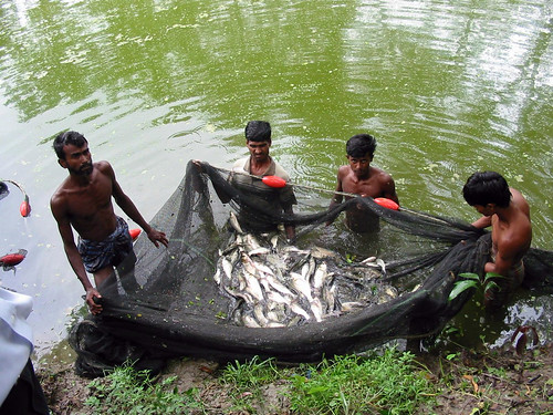 Harvesting fish, Bangladesh. Photo by WorldFish, 2004