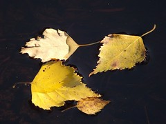 Floating autumn.JPG (Ylva Budsj - on and off) Tags: autumn nature water leaf bog