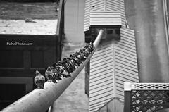 Bird On A Wire (ckfishel2001) Tags: november bw monochrome birds blackwhite pov cincinnati birdonawire leadinglines 2011 roeblingsuspensionbridge uniquepov lineofbirds clubblatz fishelphoto ascendtheroebling highabovecincinnati