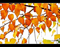 Autumn (Vijay_ktyely) Tags: autumn trees leaves