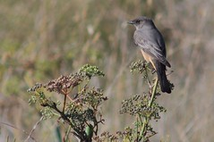 Say's Phoebe (Sayornis saya) (Dwine76) Tags: coyote bird hills phoebe saysphoebe sayornissaya ebparksok