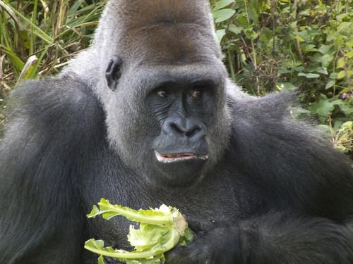 From flickr.com: Vegan Diet Forilla {MID-219145}