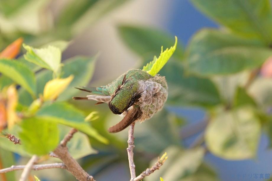 Anna's Hummingbird111111-4