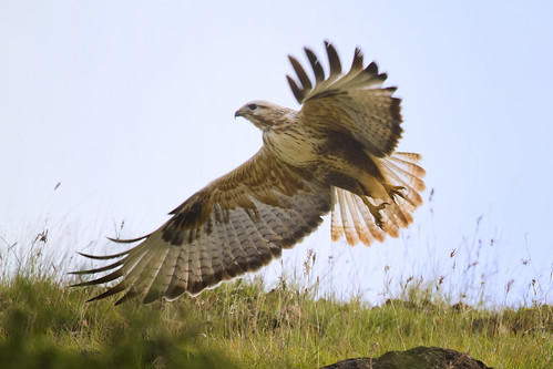 Long-legged Buzzard - take off