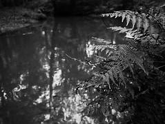 autumn forest impressions (Marc Gommans) Tags: bw water forest stream beek zwartwit herfst impressions olympuspen autmn ep3 penography marcgommans fotoclubvenray panasonic14mmf25 landgoedeijsteren
