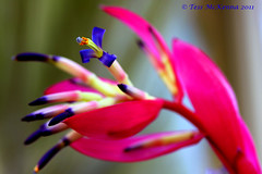 Explored: Nov 13, 2011 #285  Bromeliaceae  Billbergia 018 copy (Tess Mc Kenna Home) Tags: flowers flower macro nature flickr cannon perfectpetals botanicgardensglasnevindublin9 tessmckenna