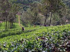 Tea Pickers (robteather) Tags: srilanka nuwaraeliya teapickers