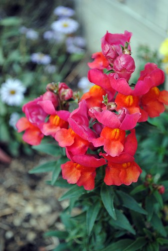 Bloom Day snapdragons