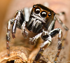 Jumping spider (Zeen.) Tags: sunset portrait hairy macro cute slr nature face sunrise mouth spider jumping eyes nikon singapore legs arachnid dslr eight arachnology arthropod macrophotography zeen salticid palps salticidae pedipalps hirzi