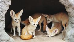 사막여우 (에버랜드 (withEverland)) Tags: 대한민국 에버랜드 겨울 사육사 동물원 용인 사자 놀이공원 알락꼬리여우원숭이 황금원숭이 코아티 검진 겨울나기