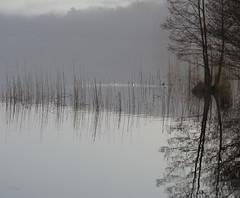 Dawn of the Ducks (Collin Key) Tags: morning winter mist lake reflection reed nature germany dawn ducks tranquility deu schleswigholstein mölln northgermany herzogtumlauenburg lüttauersee collinkey oracope