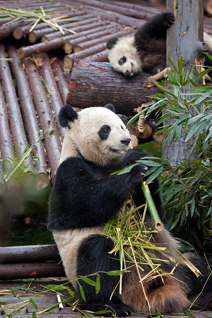 CHINA Sichuan Province Chengdu Sichuan Giant Panda Sanctuaries Chongquing Tour 3265 AJ20