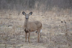 Staring Contest with a Deer (NatureFreak07) Tags: winter doe deer staring lemoinespoint kingstonon naturefreak07 hnainphotography