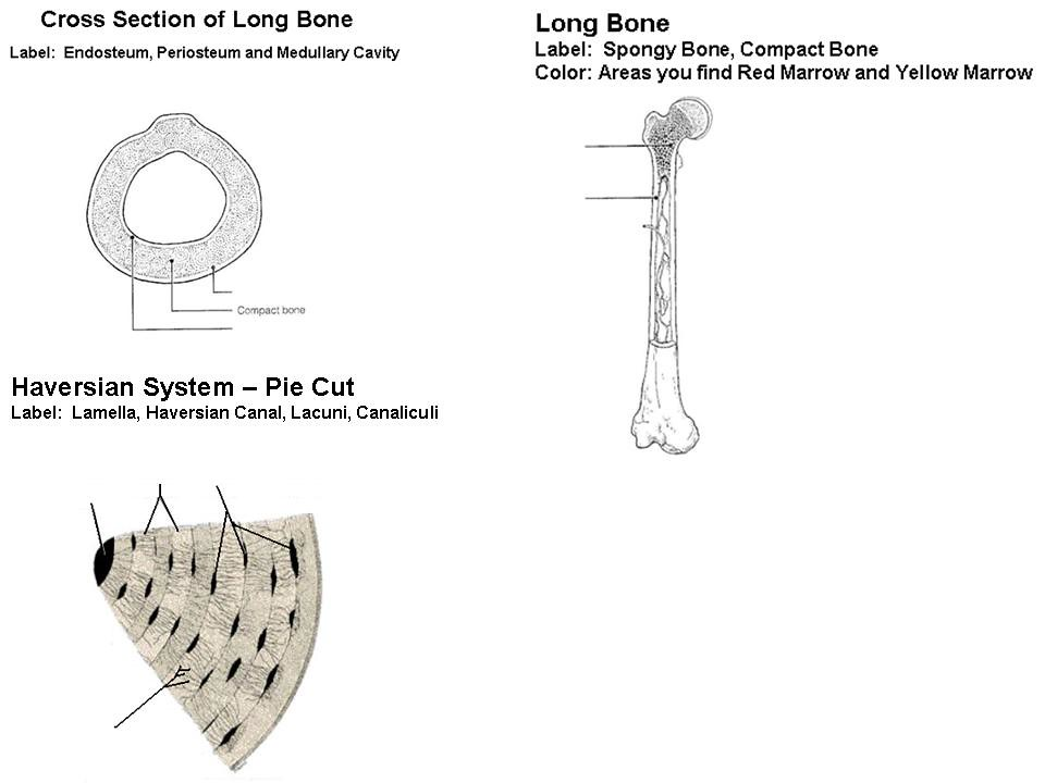 x-section - long bone - haversian system