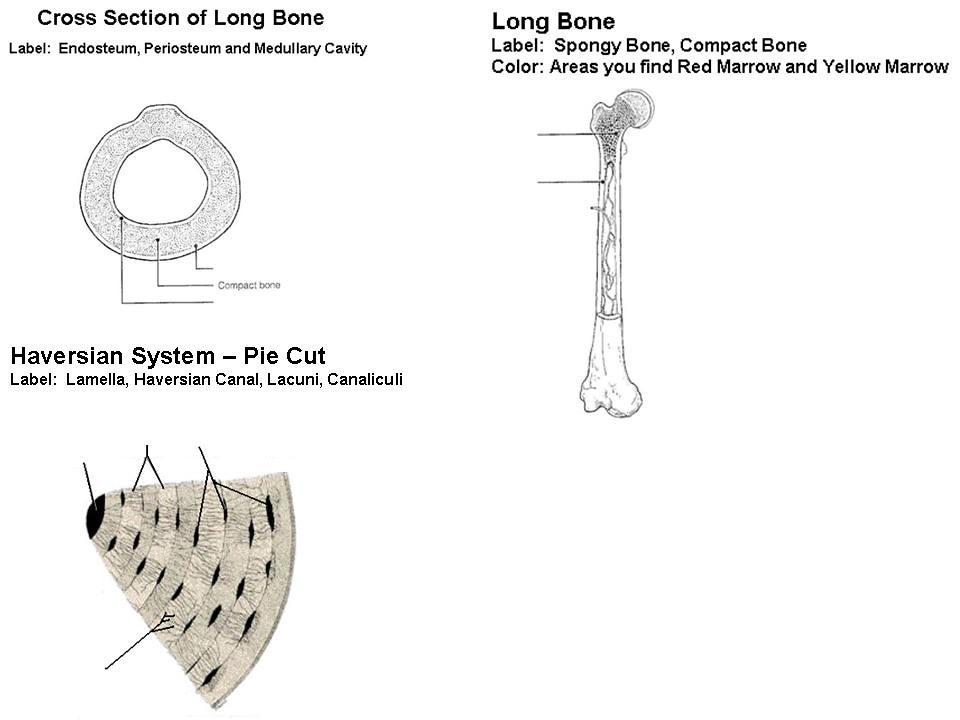 x-section - long bone - haversian system