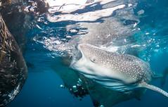 FEEDING (wildestanimal) Tags: ocean travel sea fish nature water indonesia shark flickr underwater feeding scuba diving whale whaleshark papua cenderawasihbay wildestanimal